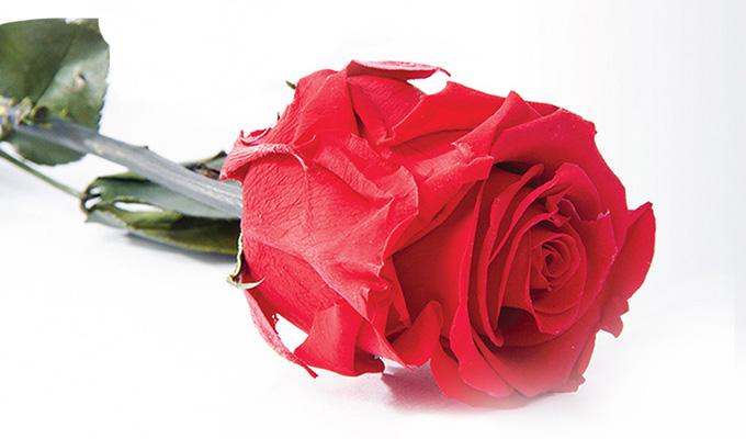 Rose éternelle 100% naturelle