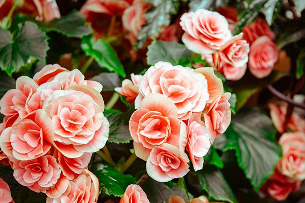 La Sainte Rose