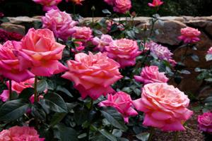 La Sainte-Rose, 23 août