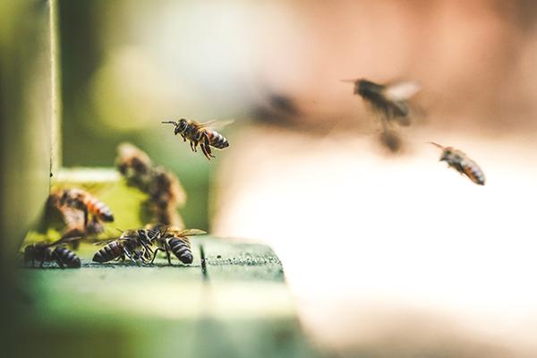 Des abeilles retournent à la ruche