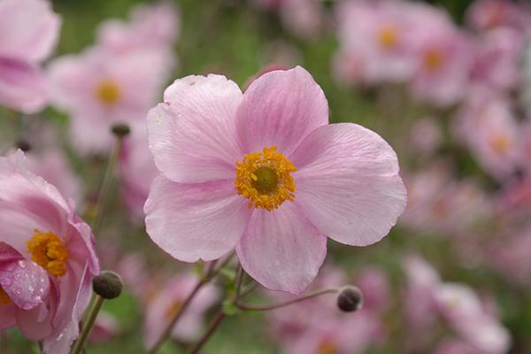Anémone du Japon de couleur rose