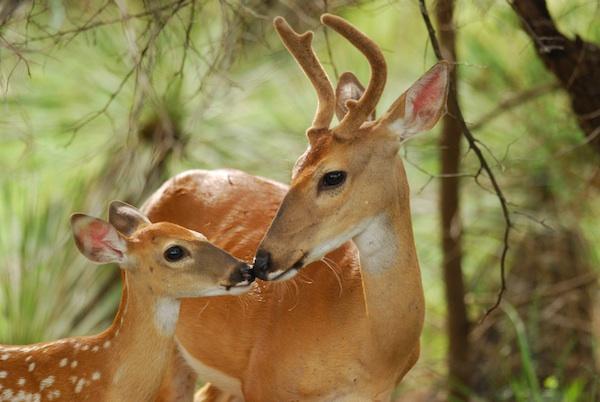Cerfs sauvages