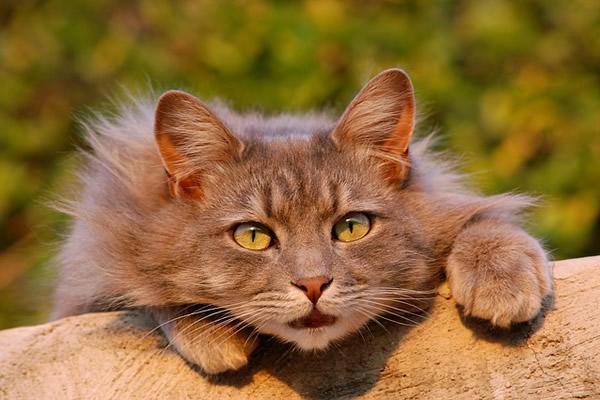 Magnifique chat aux yeux dorés