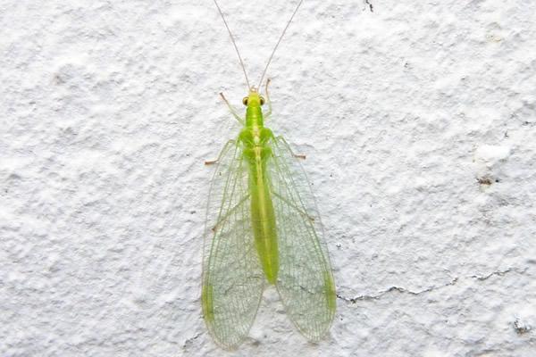 La chrysope est un bon allié au jardin puisque cet insecte se régale de pucerons