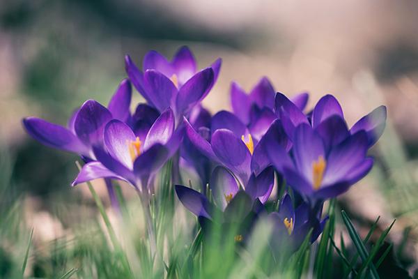 Bon Lundi Crocus_violet
