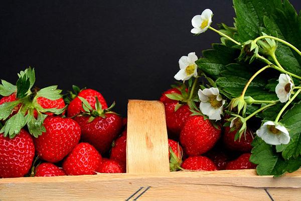 plant de fraisier