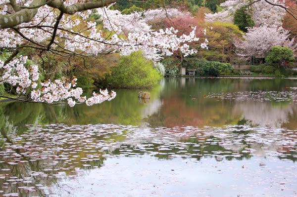 Jardin japonais, pont