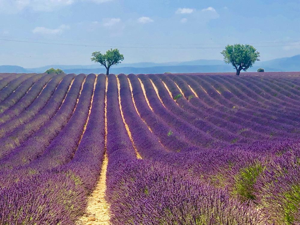 aaaLa lavande : l'or bleu de Provence