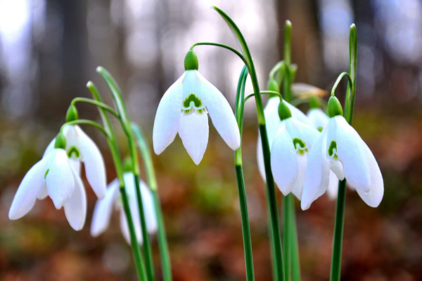 Perce-neige de printemps