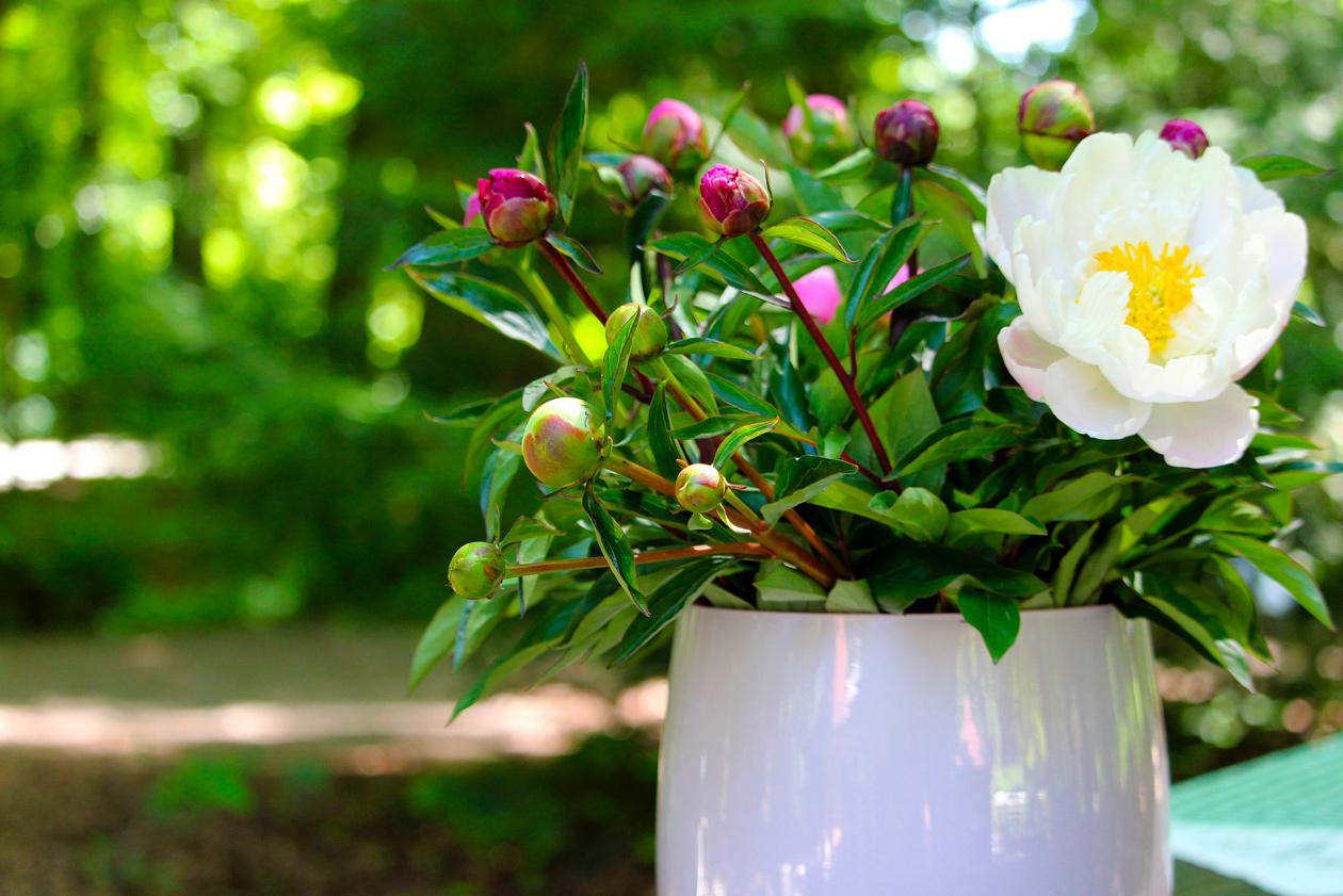 Entretenir Un Pied De Basilic jardiner en juin