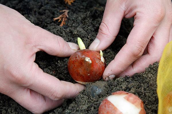 Plantez bulbes printanier en automne