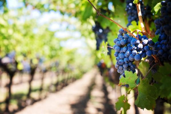 vigne et raison noir