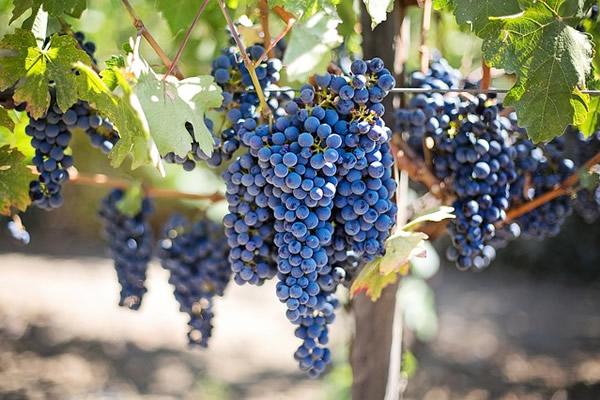 La vigne et le raisin pour le vin