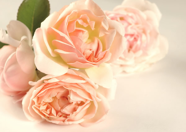 La rose, reine des fleurs
